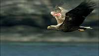 sea eagle in flight, copyright BBC